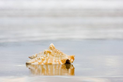 Shell on a wet beach. Focus only on the shell