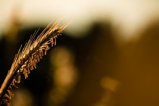 grass stalk in early morning