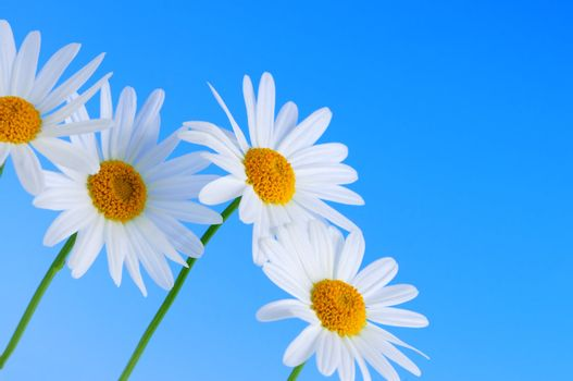 Daisy flowers in a row on light blue background