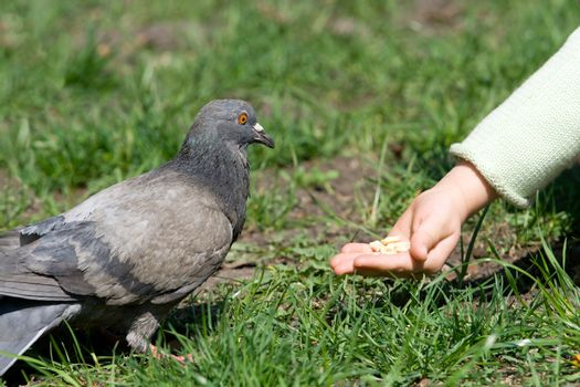 Little child is feeding a pigeon by hand