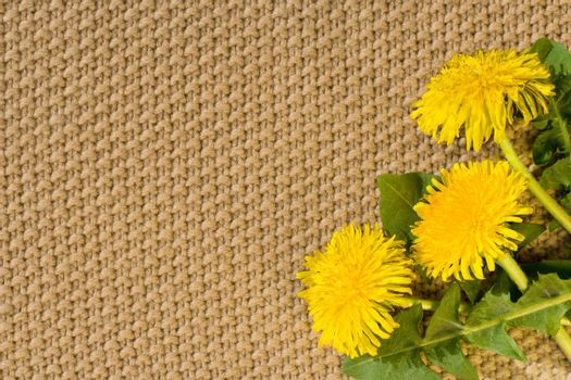 Beige textile Backgrounds close-up and spring dandelions in the right bottom corner