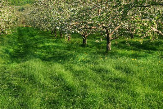 Apple blossoms in the orchards