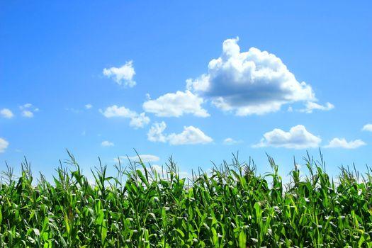 Field of corn stalks in August