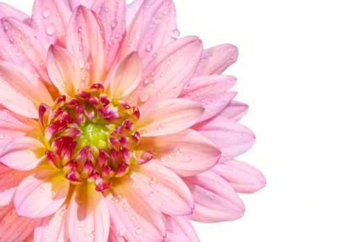 Pink dahlia flower isolated on white background