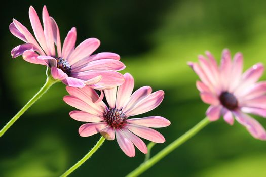 Pink daisies blowing in the wind