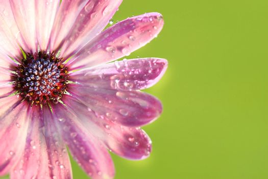 Pink daisy against green background
