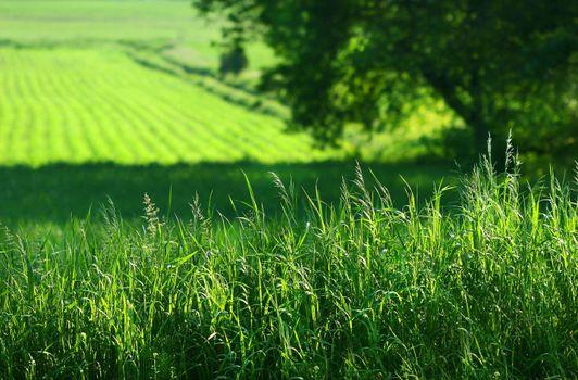 Summer fields in early morning