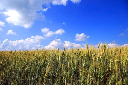 A field of wheat in rural Quebec, Canada