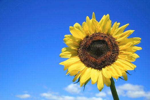 Golden sunflower  against a blue sky