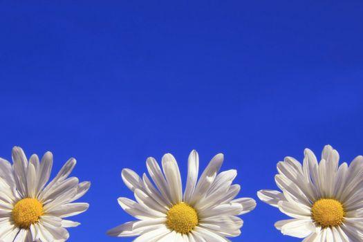 Three daisies against the blue sky