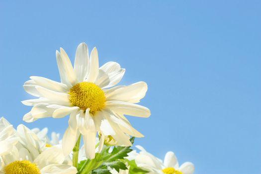 Daisies in  the sun against a blue sky