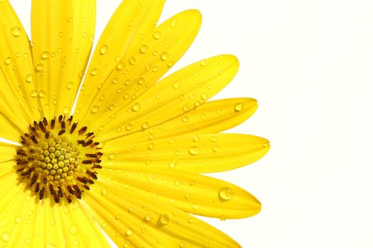Yellow daisy on white background