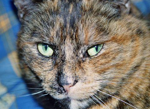 cat portrait over blue