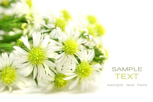 Little white daisies on isolated white background