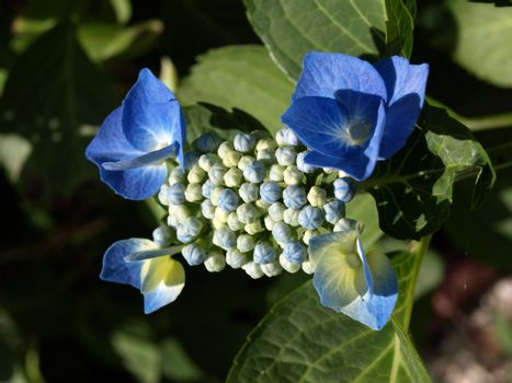 Four blue and white hydrangea flowers with green foliage