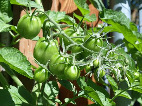 A group of green tomatoes growing in a bunch on a vine in a garden