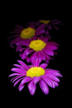 Purple chamomiles on black background