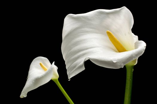 Two white callas close-up with water droplets. Isolated on black background