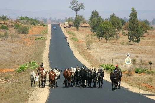 Farmers bringing their cattle from one place to the next in the blistering heat