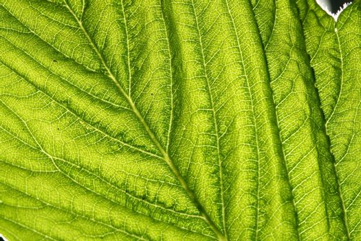 green leaf vein macro close up