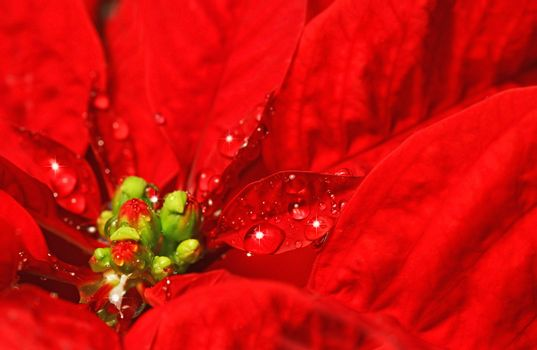 Red poinsettia with water droplets