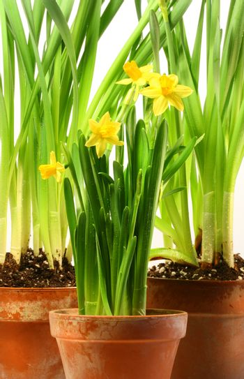 Three pots of daffodils on white background