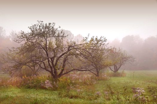 Apples trees in the mist after the rain