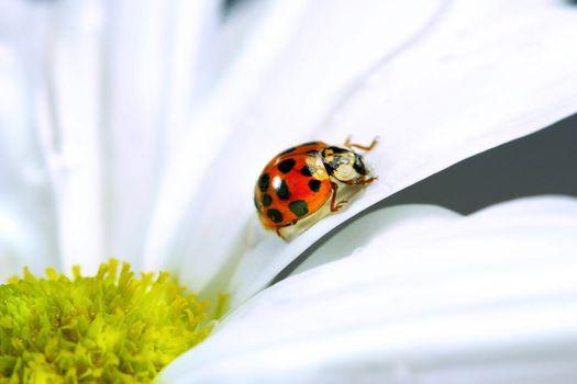 Little ladybug on daisy