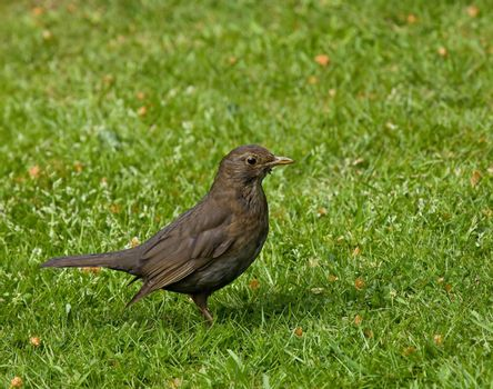 Female Common (European) Blackbird finding food for young