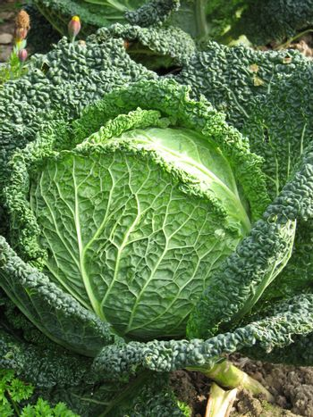 green cabbage at harvest time