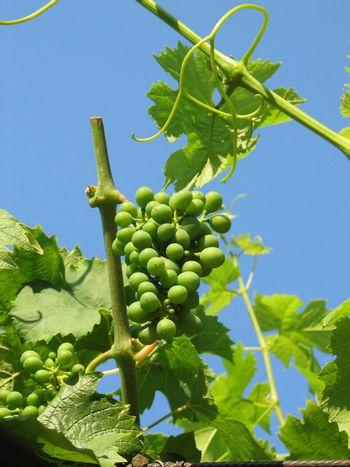 vine grapes with green, not yet ripe fruit