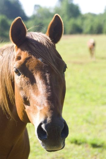 A portrait of a brown horse in a field.