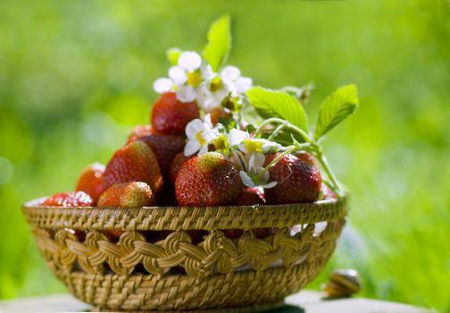 strawberry basket in the sunny garden