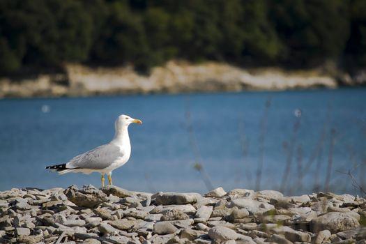 seagull on a pebble beach