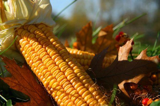 Corn in the grass