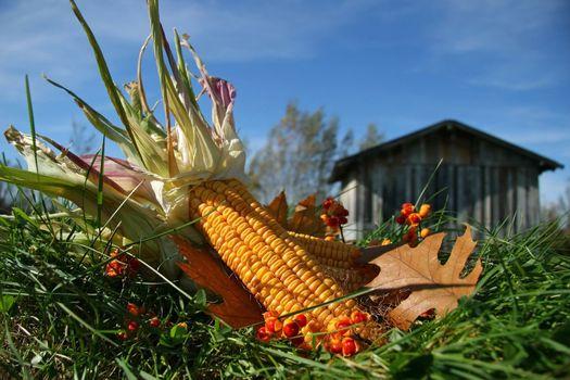 Dried corn