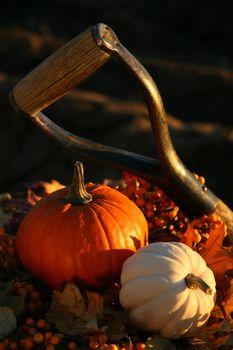 Harvesting for Thanksgiving