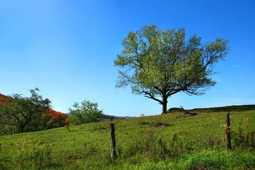 Apple tree on the hill