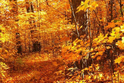 Walking through the maple trees