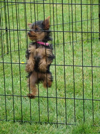 this cute yorkie is trying to climb out of his cage
