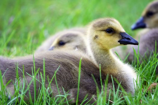 Canada geese (Branta canadensis) resting on grass.