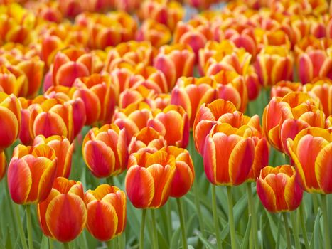 Field of the spring red and yellow tulips