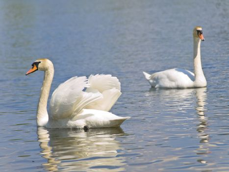 Two white swans swimming at the blue lake in wild nature