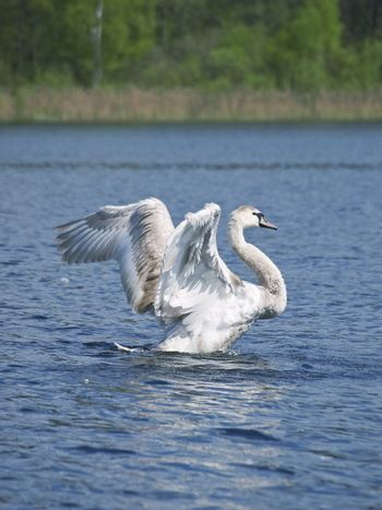 Fly up yang swan at the blue lake in wild nature