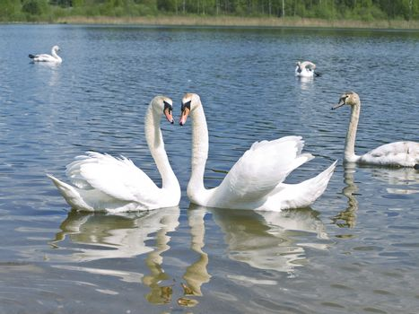 Two romance swans swimming with other swans at the blue lake