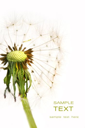 Dandelion detail isolated on white