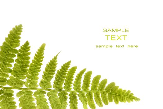 Fern leaf isolated on a white