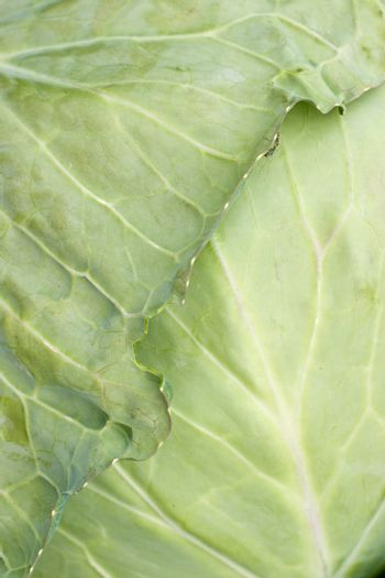 Cabbage leaf with bug