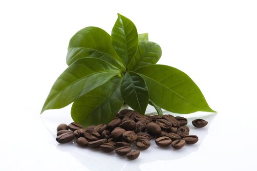 growing coffee