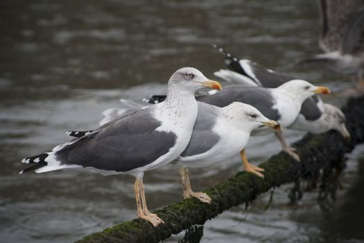 Four seagulls in a rope on the rain.